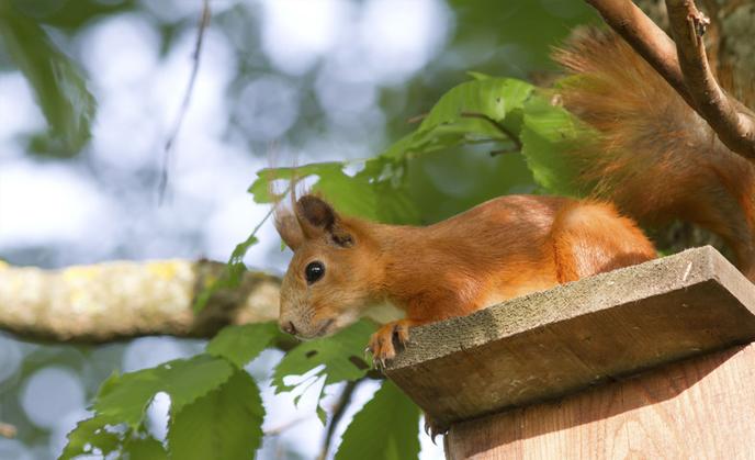 Attic Squirrels Removal Attic Rat Control